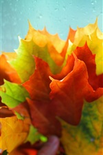 Many maple leaves, red yellow green, water droplets