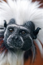 Preview iPhone wallpaper Marmoset, white hair