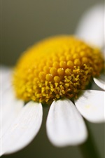 Preview iPhone wallpaper One daisy flower, white petals