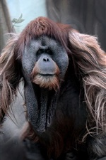 Preview iPhone wallpaper Orangutan, monkey