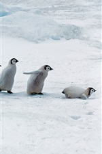 Penguin mother and penguin babies, thick snow