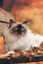 Preview iPhone wallpaper Persian cat on the autumn bench