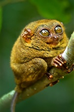 Preview iPhone wallpaper Philippine tarsier, monkey