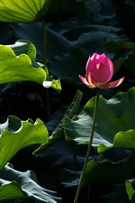 Preview iPhone wallpaper Pink lotus, green leaves
