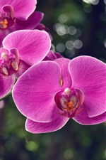 Preview iPhone wallpaper Pink phalaenopsis, orchids