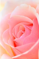 Preview iPhone wallpaper Pink rose macro photography, petals, glare, bokeh