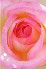 Preview iPhone wallpaper Pink rose macro photography, petals