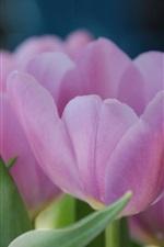 미리보기 iPhone 배경 화면 핑크 튤립 꽃, 꽃잎, 흐린 배경