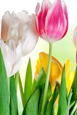 Preview iPhone wallpaper Pink white yellow tulips, sunshine, glare