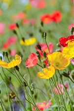 Poppy flowers field, red yellow pink
