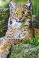Preview iPhone wallpaper Predator lynx, yellow eyes, paws, rest