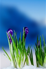 Preview iPhone wallpaper Purple crocuses flowering, snow, spring, blur background