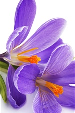 Preview iPhone wallpaper Purple crocuses, white background