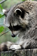Preview iPhone wallpaper Raccoon standing at stump