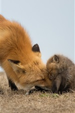 Preview iPhone wallpaper Red fox and cub