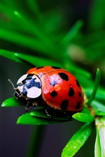 Preview iPhone wallpaper Red ladybug, grass, blur background