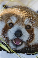 Preview iPhone wallpaper Red panda in the snow winter
