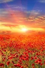 Preview iPhone wallpaper Red poppy flowers field, sunrise