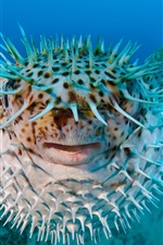Preview iPhone wallpaper Sea hedgehog, porcupine fish