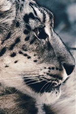 Preview iPhone wallpaper Snow leopard photography, predator, face
