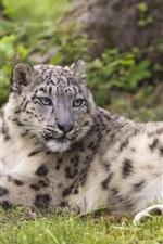 Preview iPhone wallpaper Snow leopard, predator, rest