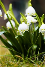 Preview iPhone wallpaper Snowdrops, white flowers, grass, bokeh