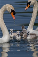 Preview iPhone wallpaper Swan family, water