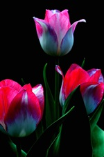 Preview iPhone wallpaper Three pink tulips flowers, stem, leaves, black background