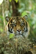 iPhone fondos de pantalla Tigre escondido en el bosque, depredador