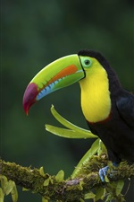Preview iPhone wallpaper Toucan, tree