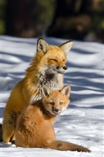 Preview iPhone wallpaper Two foxes in the winter, thick snow