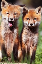 Preview iPhone wallpaper Two lovely fox cubs