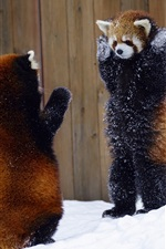 Preview iPhone wallpaper Two red pandas take hands up