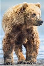 Preview iPhone wallpaper Wet brown bear