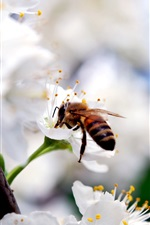 Preview iPhone wallpaper White cherry flowers, insect bee, spring