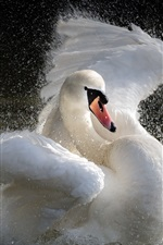 White swan play water