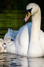 Preview iPhone wallpaper White swans, motherhood, pond