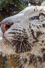 Preview iPhone wallpaper White tiger face, rain, water droplets