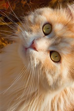 Preview iPhone wallpaper Yellow eyes cat look up, autumn