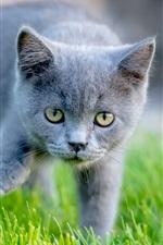 Yellow eyes gray kitten, green grass