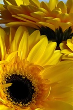 Preview iPhone wallpaper Yellow gerbera flowers, petals close-up