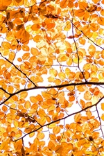 Yellow leaves, autumn, twigs, white background