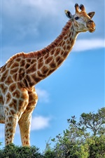 Preview iPhone wallpaper African animals, giraffe, shrub