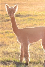 Preview iPhone wallpaper Alpaca under sunshine