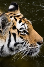 Preview iPhone wallpaper Amur tiger, pond, predator
