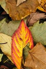 Autumn leaves, colors
