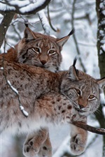 Bavarian Forest National Park, Germany, trees, lynx, winter, snow