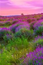 Preview iPhone wallpaper Beautiful lavender flowers field, bloom, dusk