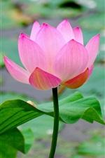 미리보기 iPhone 배경 화면 아름다운 연꽃, 분홍색 꽃잎, 연못, 잎