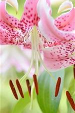 미리보기 iPhone 배경 화면 아름 다운 핑크 백합 꽃 근접 촬영, 암 꽃 술